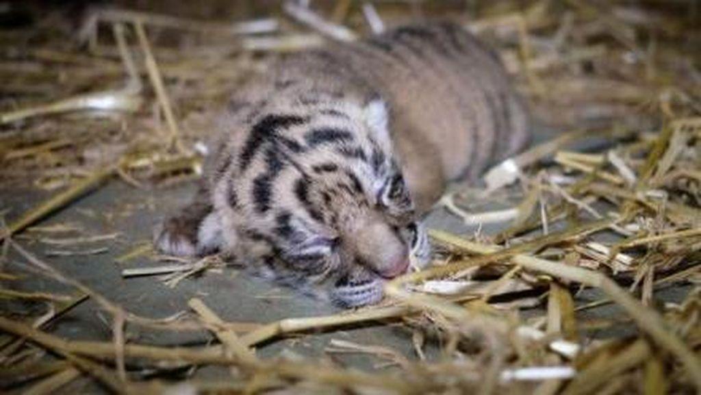 2 Ekor Bayi Harimau Sumatra Lahir di Kebun Binatang Sunshine Coast