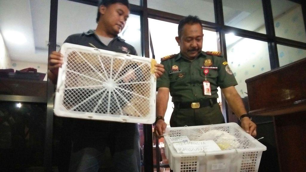 Penyelundupan 3.737 Kura-kura Moncong Babi ke Hong Kong Digagalkan