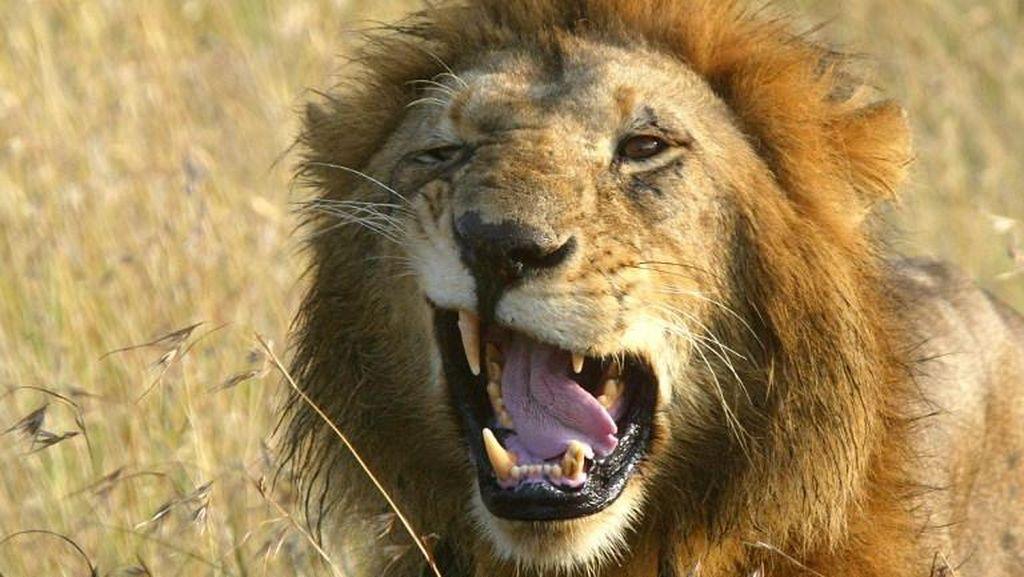 6 Singa Liar Kabur ke Ibukota Kenya, Warga Panik