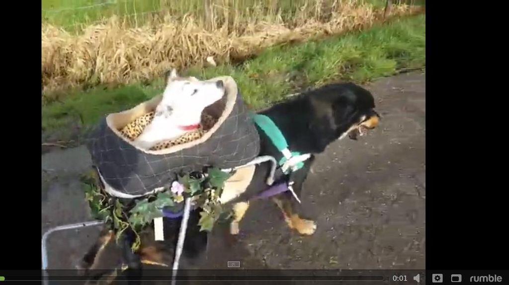 Video Mengharukan Persahabatan 2 Anjing Cacat Ini Viral di Internet