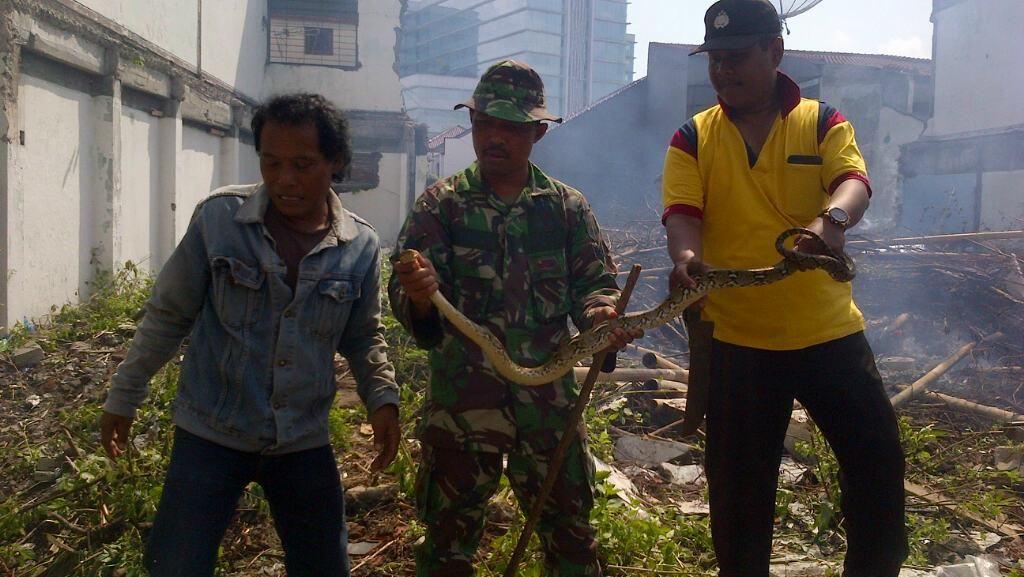 Warga Semarang Menemukan Ular Lagi, Kali ini Panjangnya 1,5 Meter