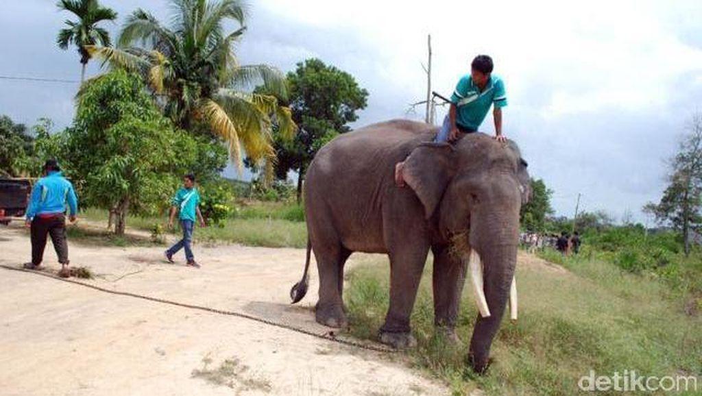 Analisis dan Pesan Pakar soal Gajah Ngamuk Tewaskan Dokter Via