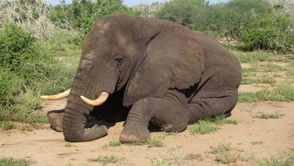 Pertama dalam 20 Tahun, Seekor Gajah Kembali ke Somalia