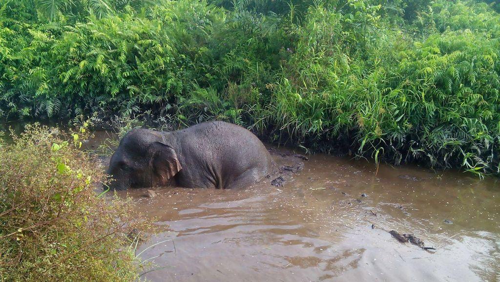Gajah Liar Terjebak di Sekat Kanal di Siak Riau