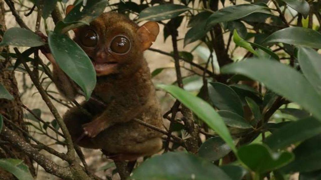 Tarsius, Monyet Hantu Purba Sekepalan Tangan