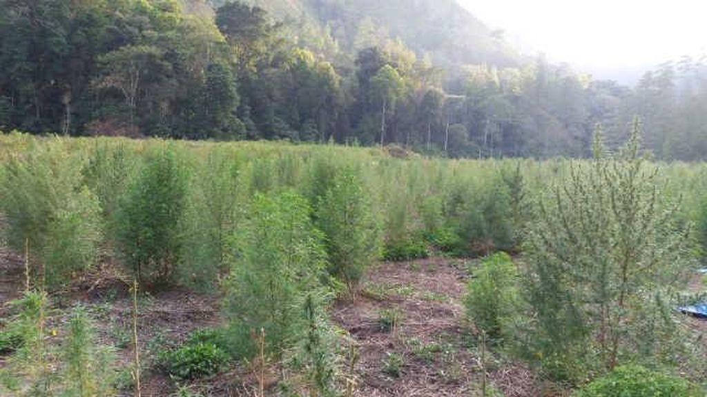 Satelit LAPAN Tangkap Titik Ladang Ganja Seluas 3 Hektar di Aceh