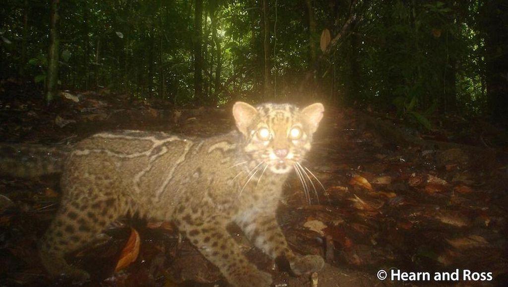 Menguak Si Langka Kucing Batu di Pedalaman Hutan Kalimantan