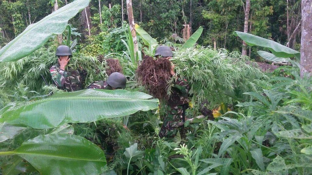 Satgas Pamtas TNI Temukan Ladang Ganja di Perbatasan Papua New Guinea