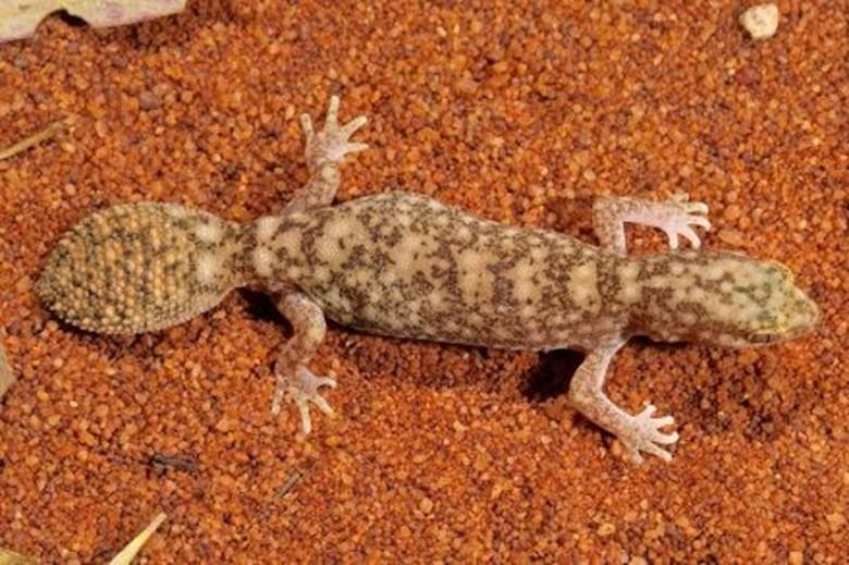 Spesies Baru Tokek Berekor Gemuk Ditemukan di Pedalaman Queensland