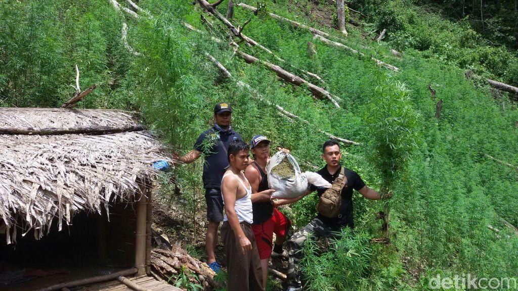 Polisi Temukan Ladang Ganja di Mandailing Natal, Sumut