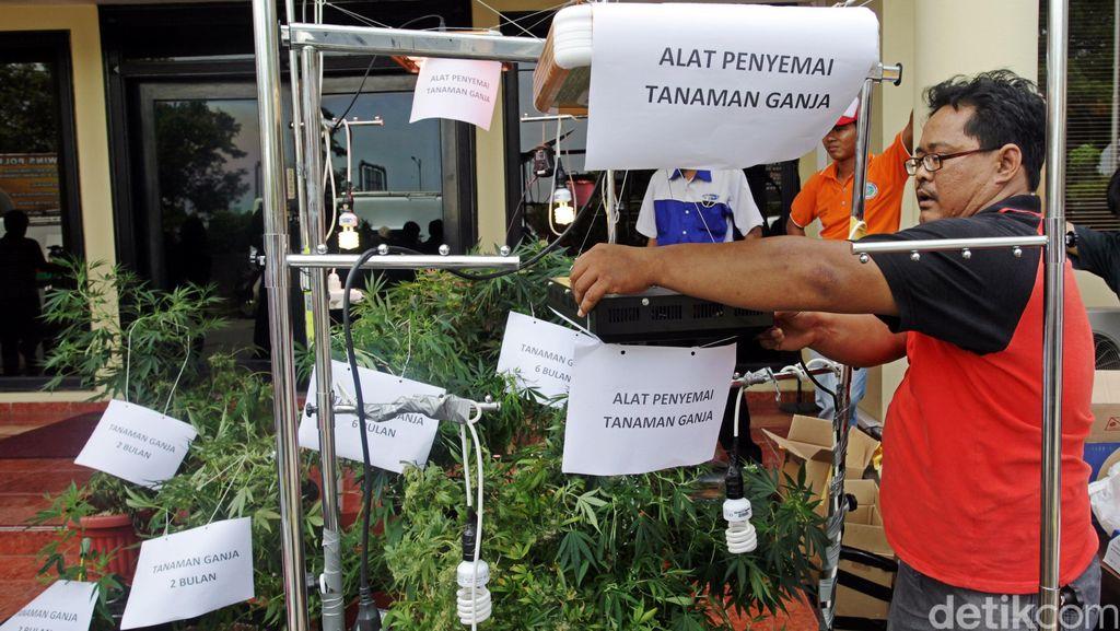 Kebun Ganja di Apartemen Pluit yang Diungkap Polisi Dalam Kondisi Siap Panen