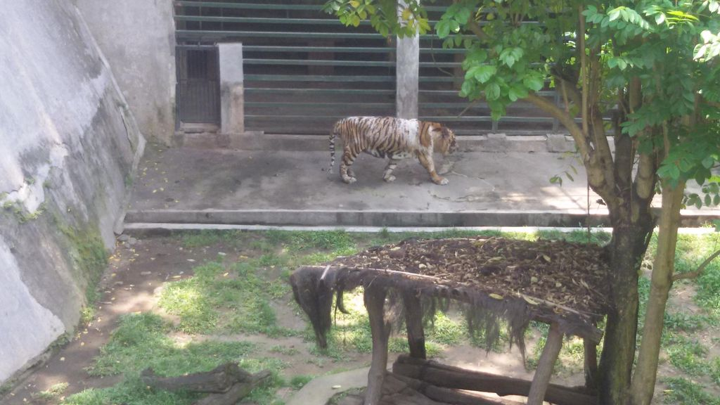 Jatah Makan Dikorupsi Penjaga, Begini Kondisi Harimau Bonbin Gembira Loka Yogya