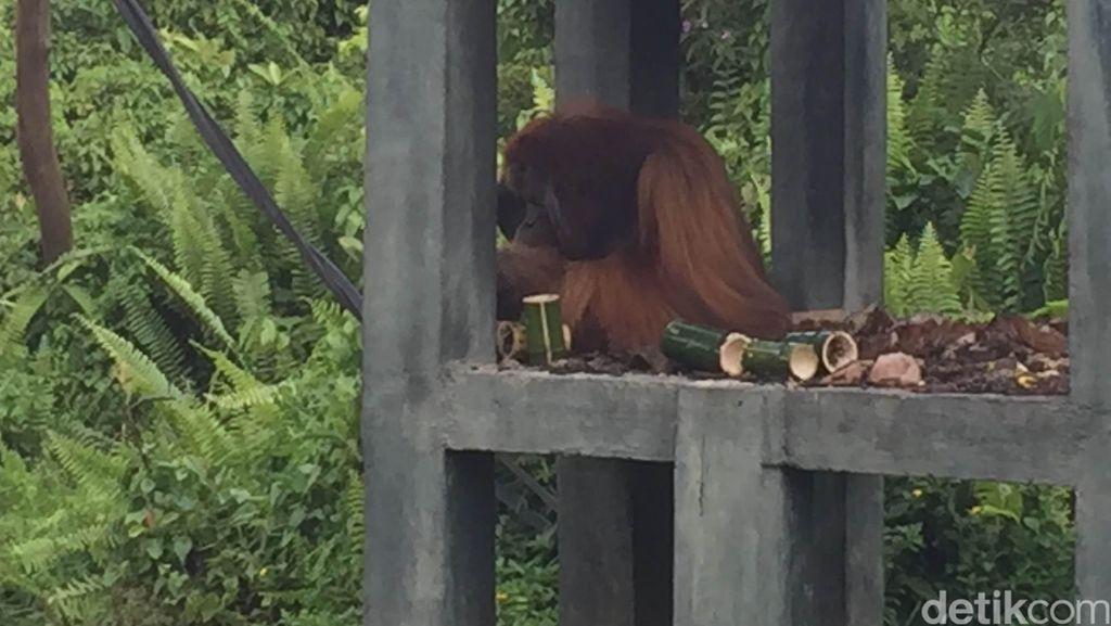 Melihat Sekolah Orangutan di Samboja Sebelum Dilepas ke Alam Liar