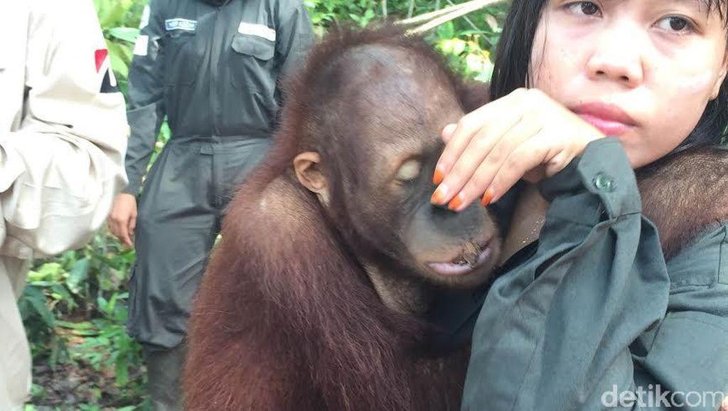 Menengok Sekolah Orangutan Borneo di Samboja