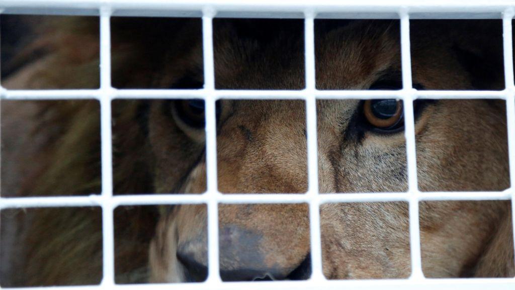 Kembali ke Habitat, 33 Singa Sirkus Diterbangkan ke Afrika Selatan