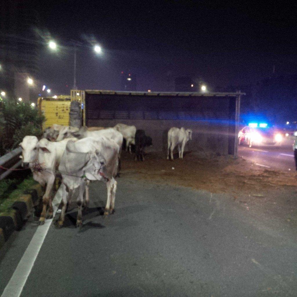 Sapi yang Lepas Usai Kecelakaan di Tol Pancoran Arah Cawang Telah Diangkut
