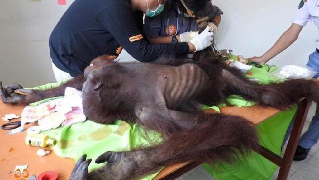 Kasihan Orangutan di Kutai ini, Luka Kena Jerat dan Senapan Angin