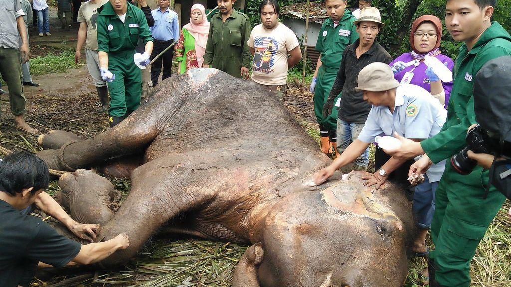 Selidiki Sebab Kematian Gajah Yani, Kebun Binatang Bandung Ditutup Sementara