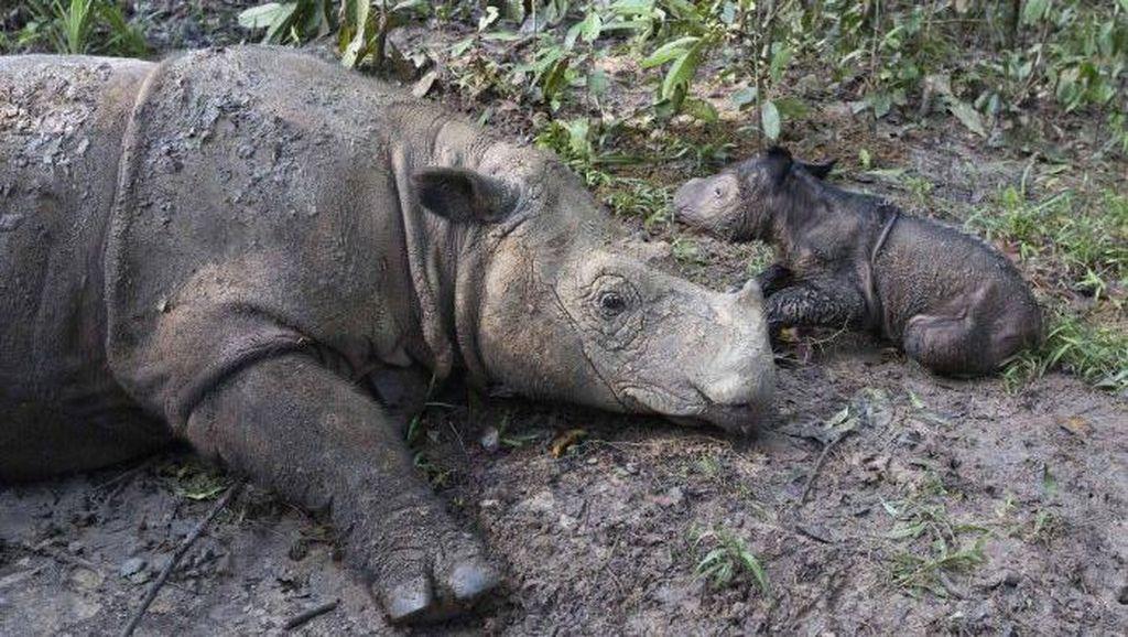 Badak Sumatera Ratu Lahirkan Bayi Betina di TN Way Kambas Lampung