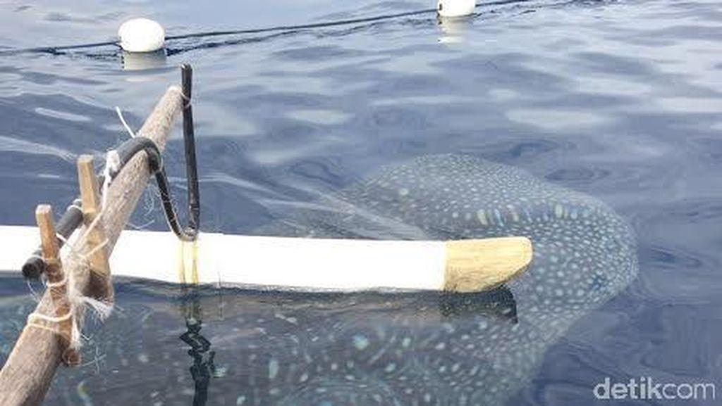 Ahli Imbau Wisatawan Tak Sentuh dan Beri Makan Hiu Paus di Gorontalo