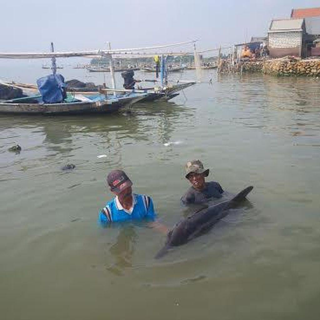 Ini Cerita Lumba-lumba Terdampar di Pesisir Nambangan Surabaya