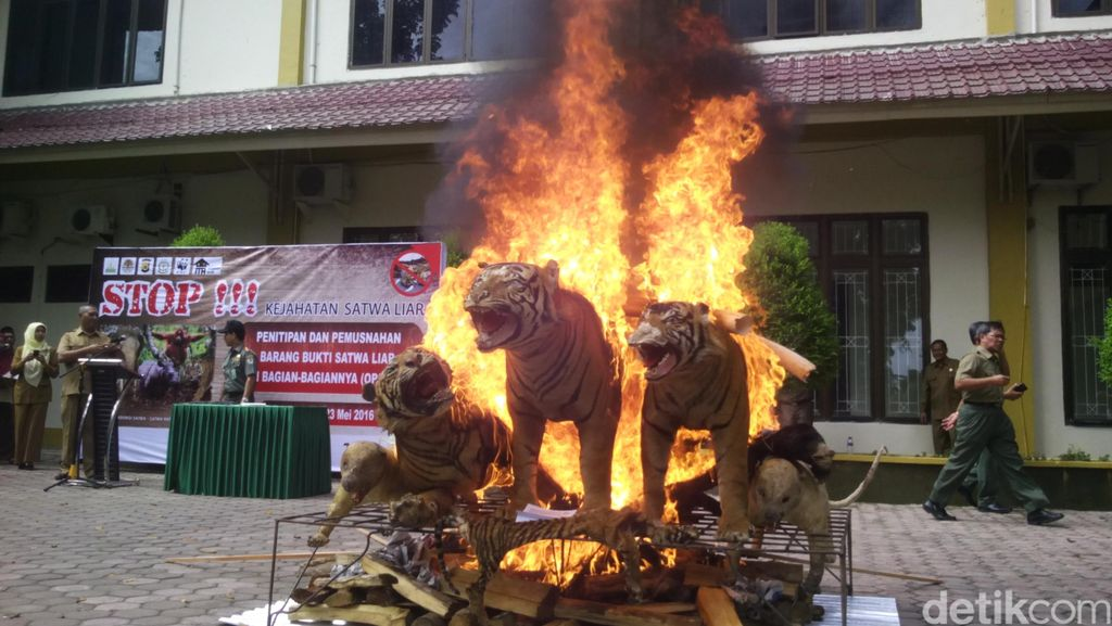 3 Awetan Harimau dan 2 Gading Gajah Dimusnahkan di Banda Aceh