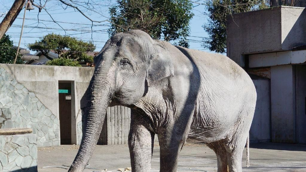 Duka Jepang untuk Hanako, Gajah Tertua yang Mati di Usia 69 Tahun