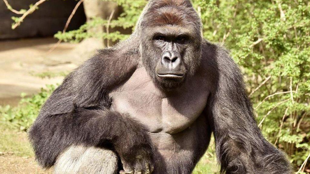 Terjatuh ke Kandang Gorila, Bocah AS Kini Dalam Kondisi Baik