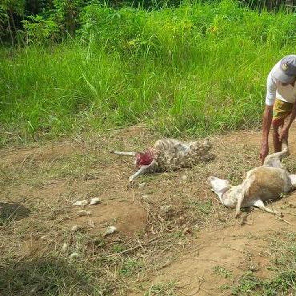Kambing-kambing di Banyuwangi Mati Misterius