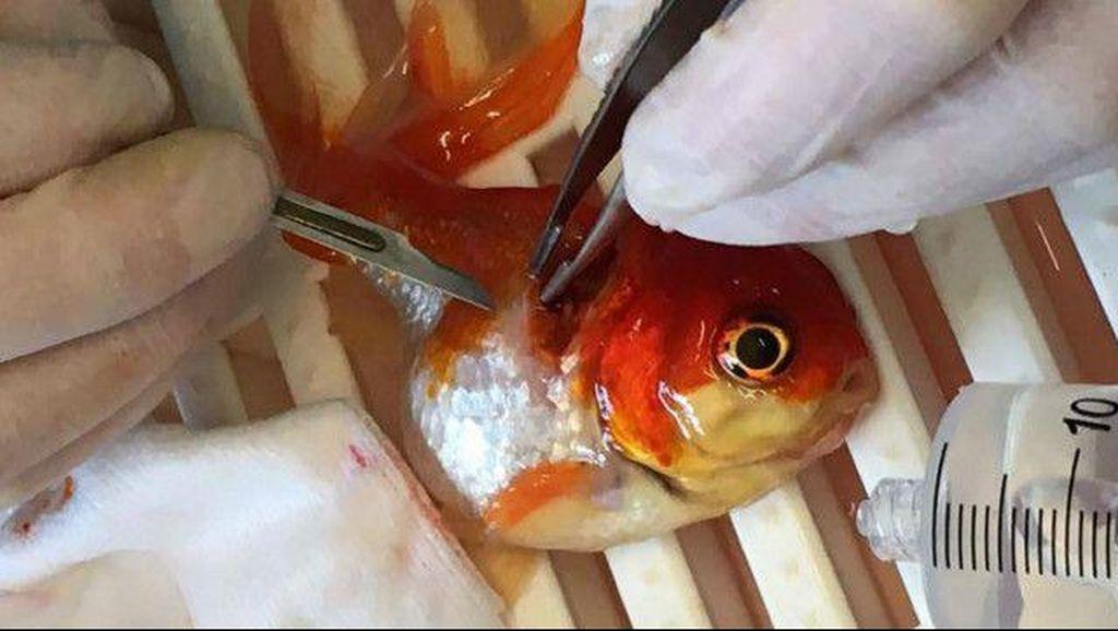 Ikan Mas Koki Bernama Nemo ini Menderita Tumor dan Sukses Dioperasi