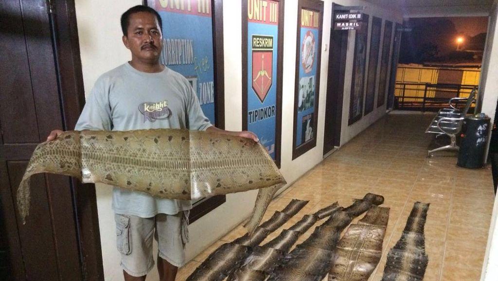 Polisi Tangkap Pria di Pelalawan Riau yang Miliki 265 Kulit Ular Kering