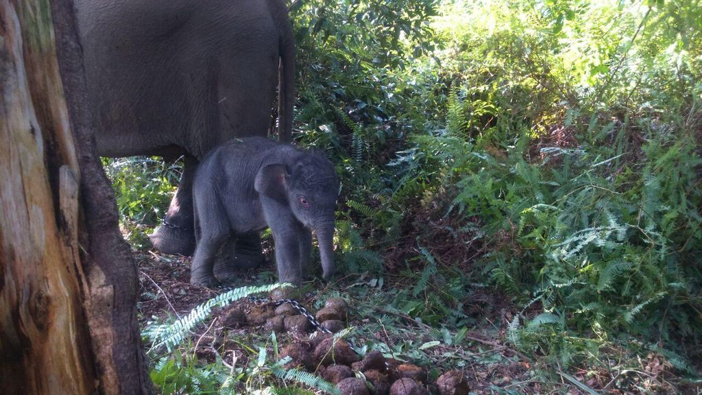 Kasihan, Anak Gajah Berumur Setahun Ini Tertinggal Rombongan Induknya