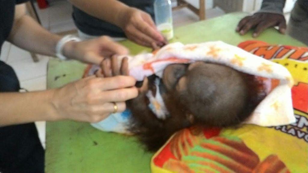 Warga Sukarela Serahkan Orangutan dan Kukang ke BKSDA Kalbar