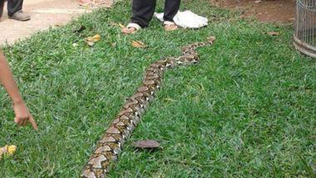 Seekor Ular Piton Ditemukan di Perumahan di Bekasi