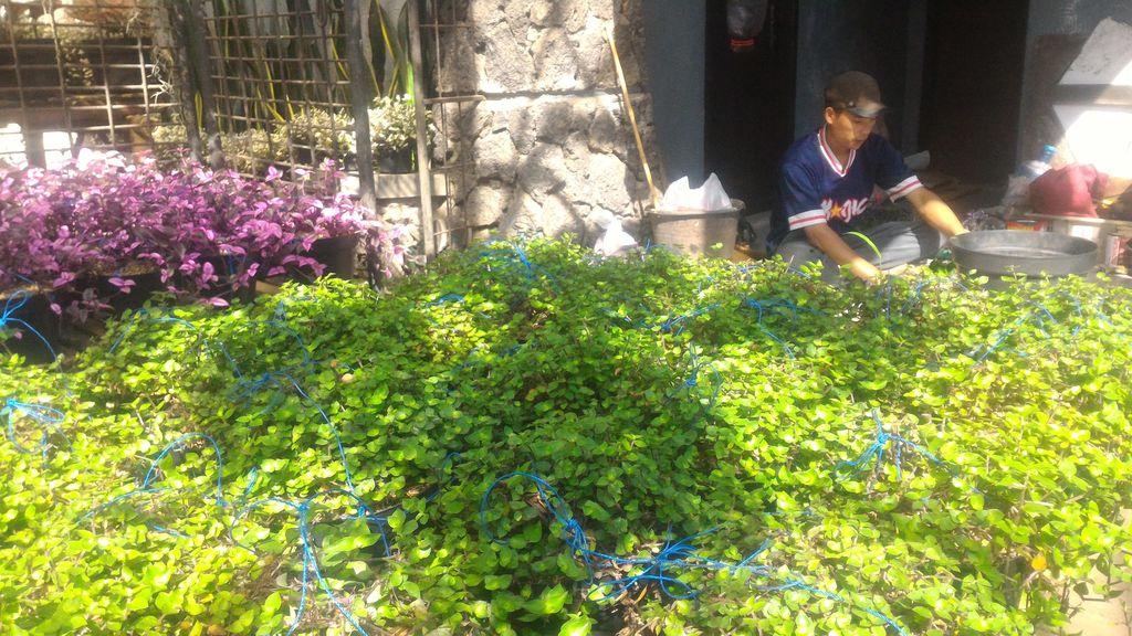 Penjualan Bunga Hias di Cihideung Laris Manis Jelang Lebaran