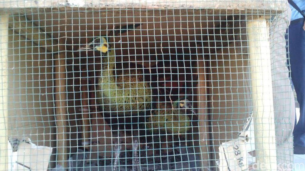 Hewan-hewan Dilindungi ini Diserahkan Pemiliknya ke BKSDA Kalimantan Barat