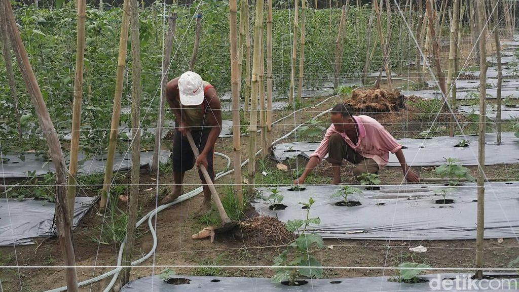 Kisah Suryono, Pemilik Sawit yang Sukses Ubah Nasib Jadi Petani Hortikultura