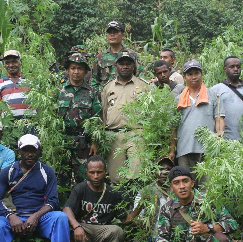 TNI Temukan 0,5 Ha Ganja di Tengah Kebun Ubi di Pegunungan Bintang Papua