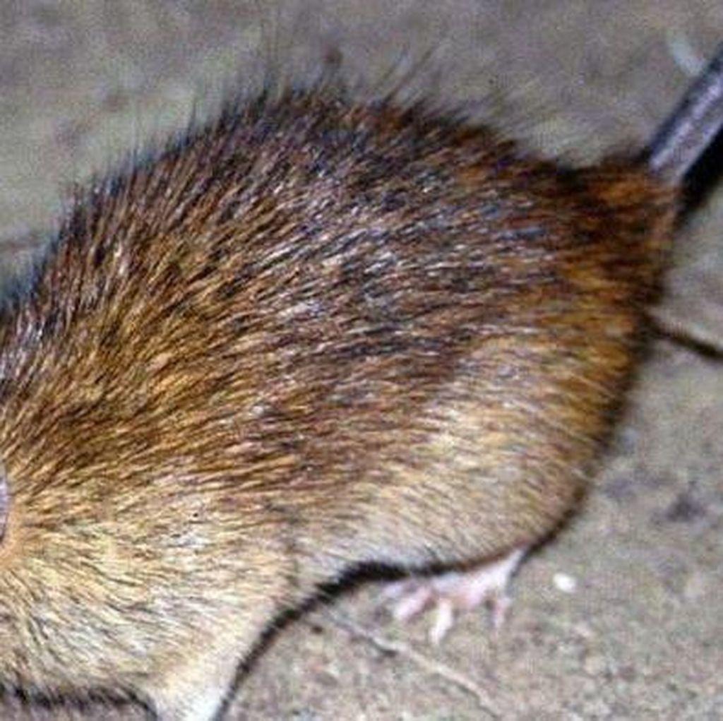 Selamatkan Satwa Asli, Selandia Baru Berencana Musnahkan Hama Tikus