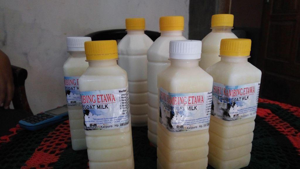 Nikmat dan Segarnya Susu Kambing Etawa di Desa Gombengsari Banyuwangi
