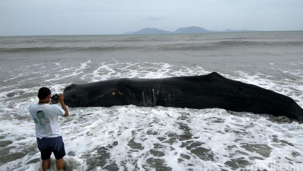Seekor Paus Sperma Sepanjang 8 Meter Mati Terdampar di Pantai Banda Aceh
