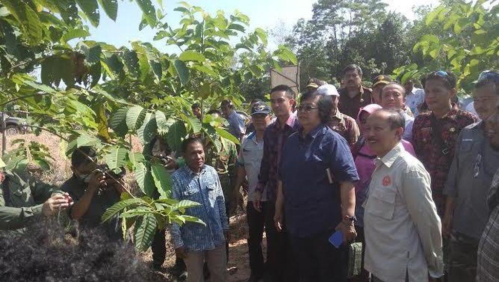Menteri LHK Tinjau Hutan Tanaman Rakyat di Jambi