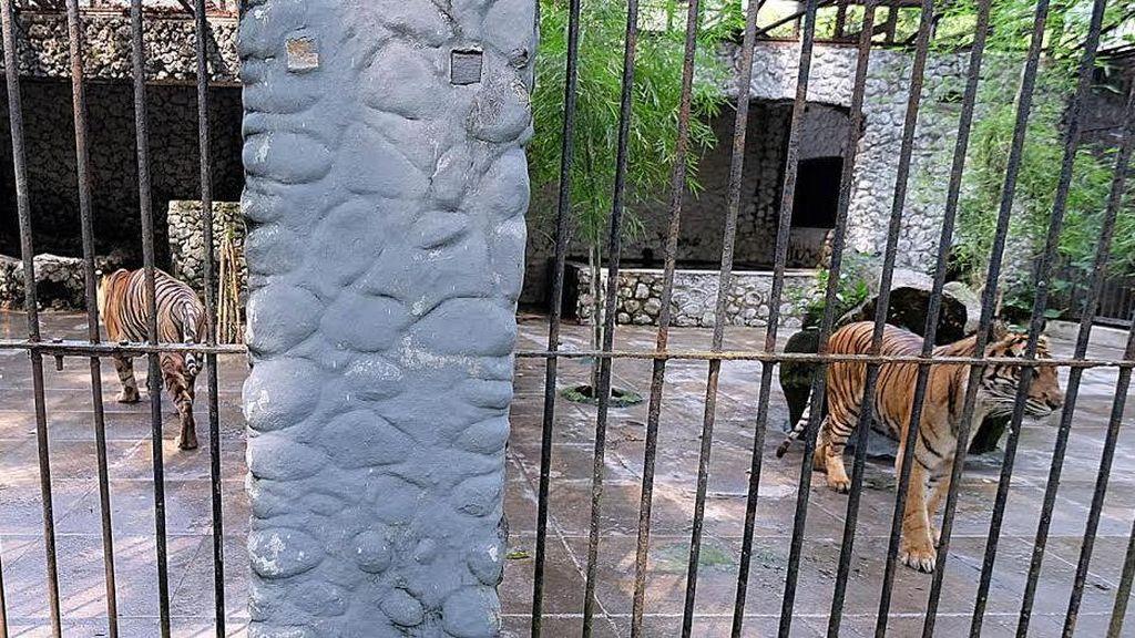 Lima Ekor Harimau Sumatera Koleksi KBS akan Dikeluarkan
