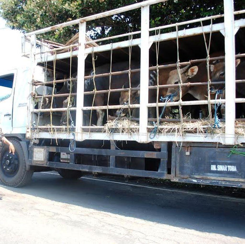 Enam Truk Pembawa Ratusan Sapi Bodong asal Bali Dipulangkan