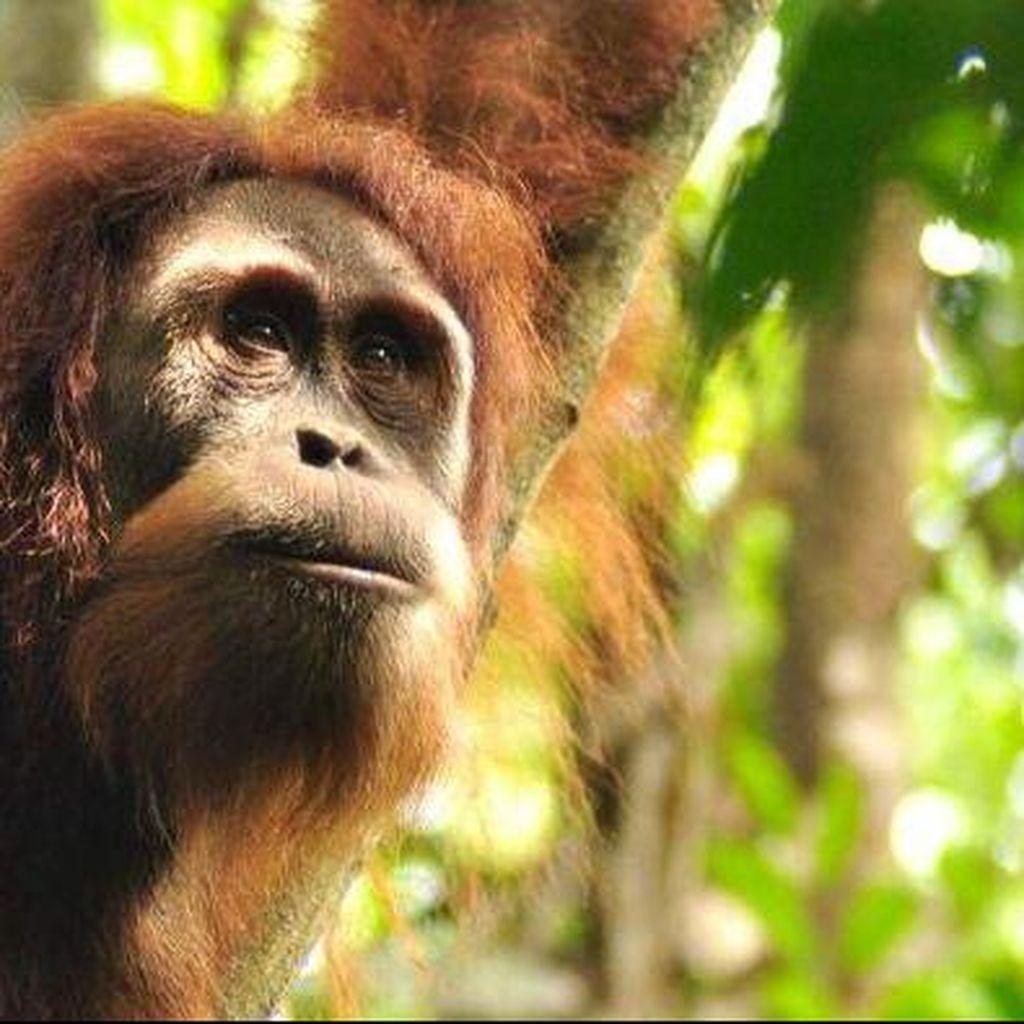 Kebun Binatang Perth Lepaskan Orangutan ke Hutan Sumatera