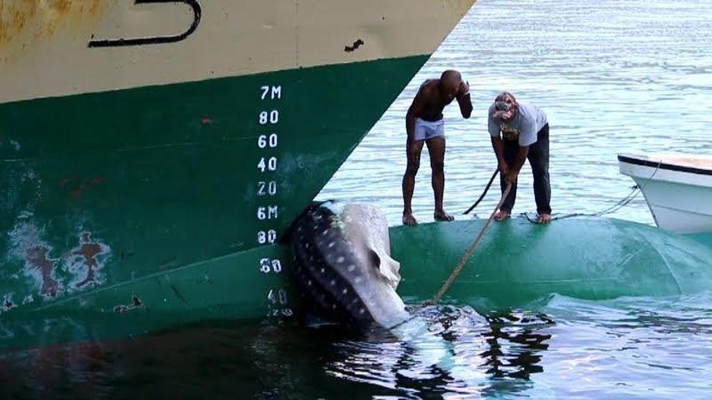 Hiu Paus Ditabrak Kapal Labobar dan Terseret Hingga ke Dermaga Jayapura