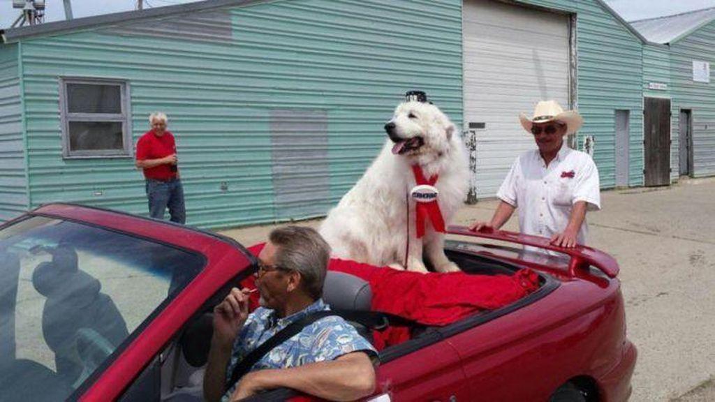 Anjing 9 Tahun Ini Terpilih Sebagai Wali Kota di AS untuk Ketiga Kalinya
