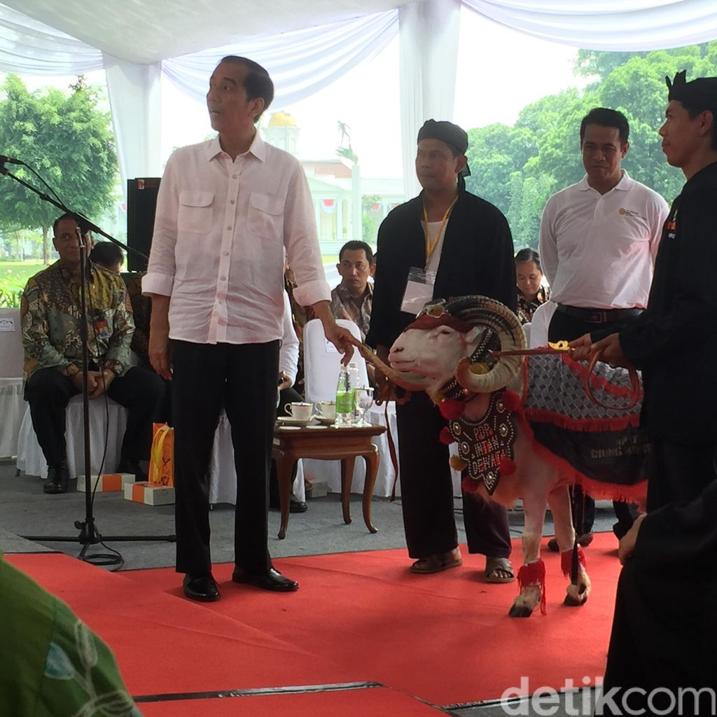 Begini Serunya Saat Domba Garut <i>Catwalk</i> di Depan Presiden Jokowi