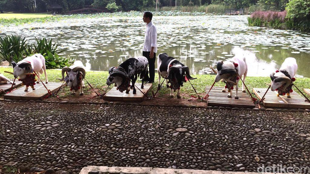 Jokowi Minta Jangan Sampai Domba Garut Dicaplok Negara Lain