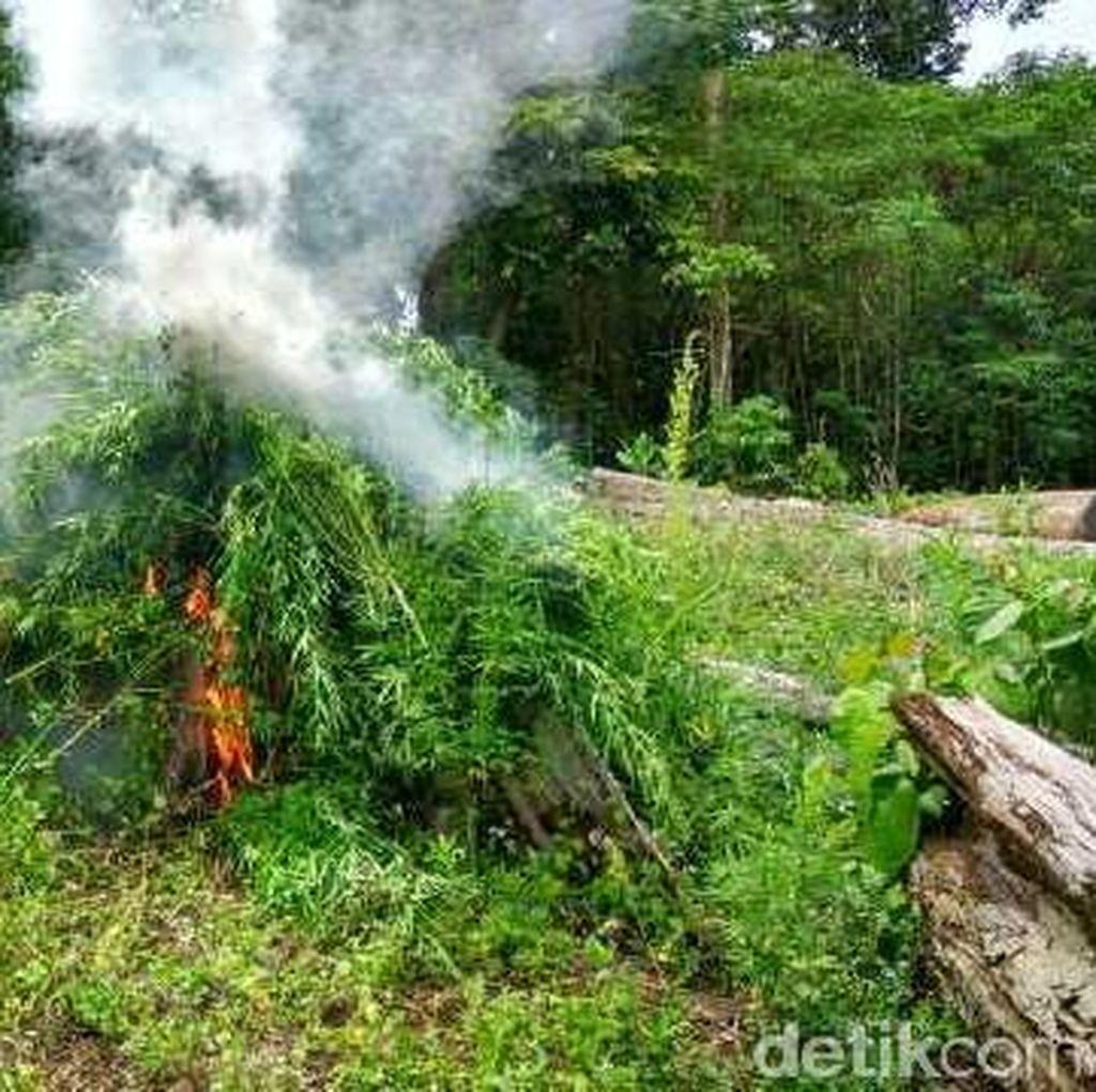 Polres Aceh Besar Cabut dan Bakar Ganja di Ladang Seluas 9 Hektare